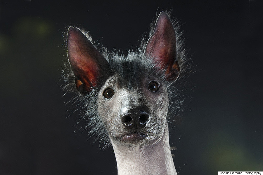 hairless dog