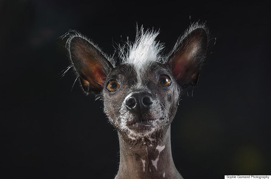 Godfrey, a Xoloitzcuintli mix. Xoloitzcuintli