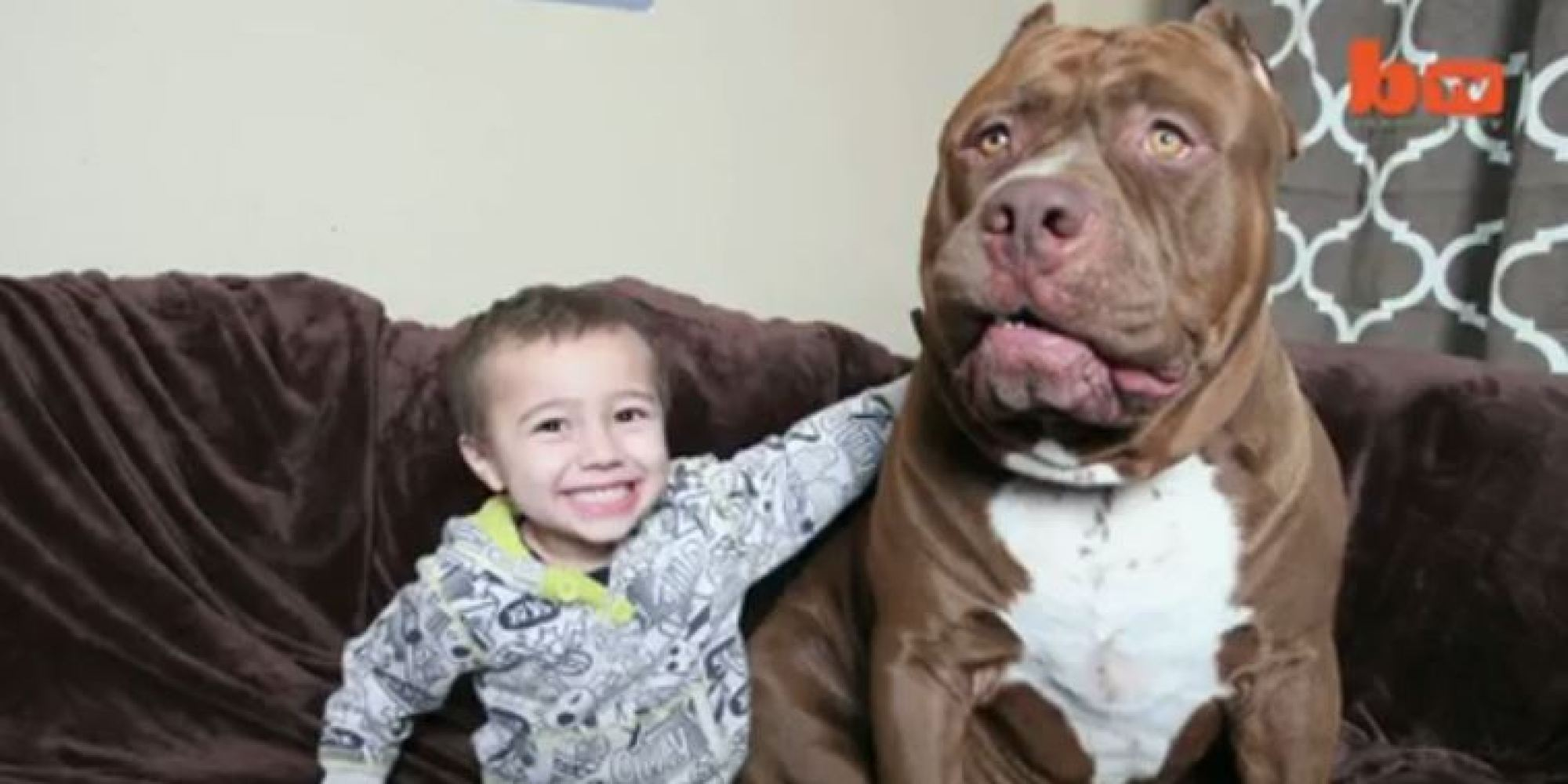 Hulk The Pit Bull Is 175 Pounds (VIDEO)