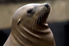 Sea lion | Pic AFP