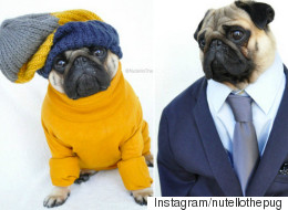Nutello The Pug May Be The Best-Dressed Dog On The Internet