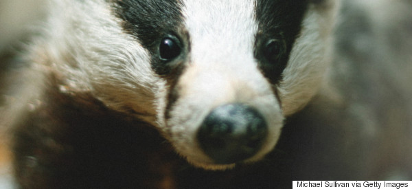 On 'Betrayal' And Badgers