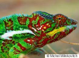 The Freaky Science Behind How Chameleons Change Color