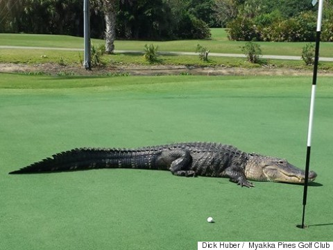 golf course gator
