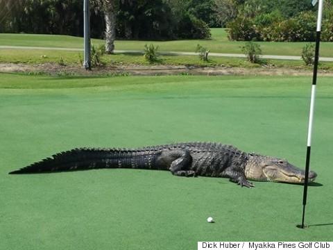golf course gator
