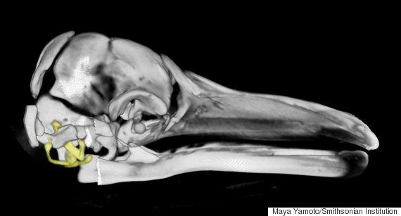 whale ear bones