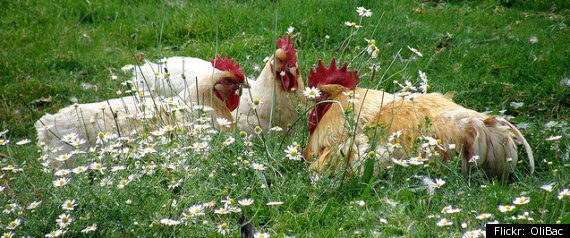 CHICKEN MATING LAW