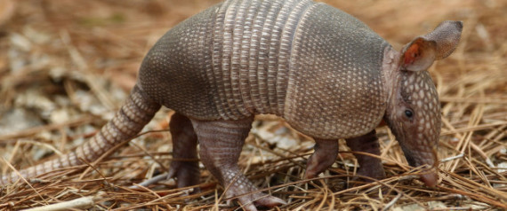 Armadillo Leprosy South