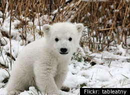 Polar Bear Cub Rescued