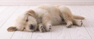 Puppy Sleeping On Floor
