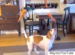 The Un-Ending Struggle Of Dog Versus Flying Carrots
