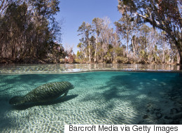 Record Number Of Manatees Counted In Annual Florida Survey