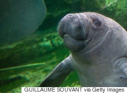 Manatees Hit Record Numbers, Conservation Efforts Actually Work
