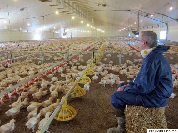 Bbc Kfc Documentary Billion Dollar Chicken Shop Reveals
