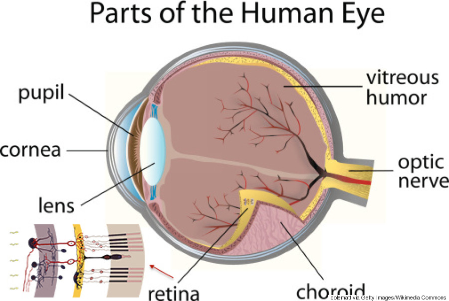 The human eye is wired backwards and these scientists think they human eye anatomy ccuart Choice Image