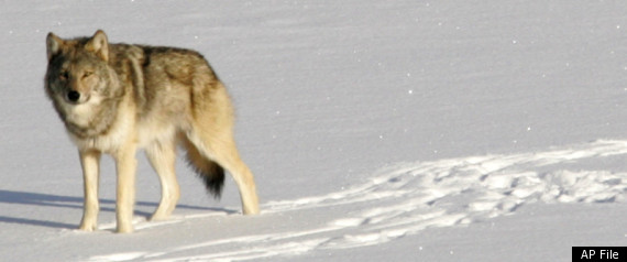Gray Wolves Endangered Protections Lifted Obama
