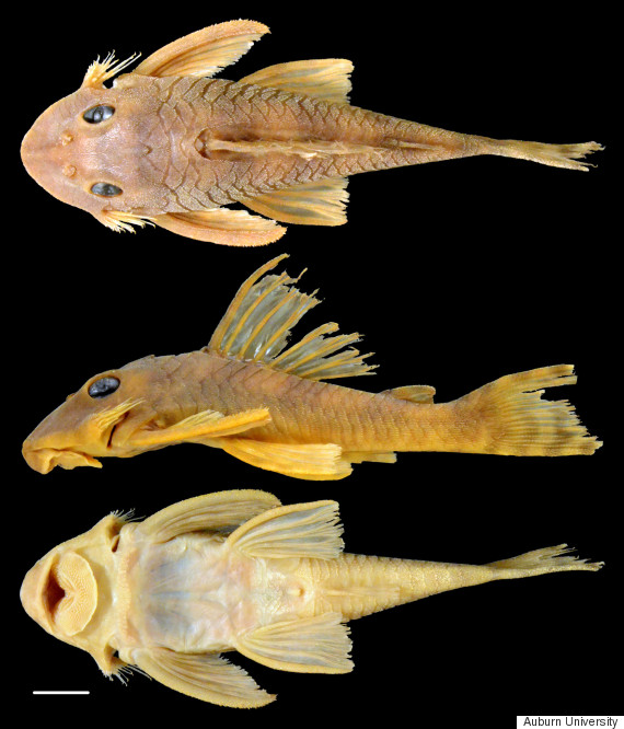 greedo fish is a new species of catfish and yes it 39 s