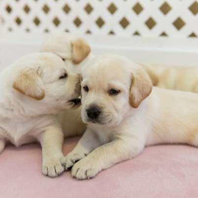 For Just 10 You Can Snuggle These Seriously Impressive Puppies