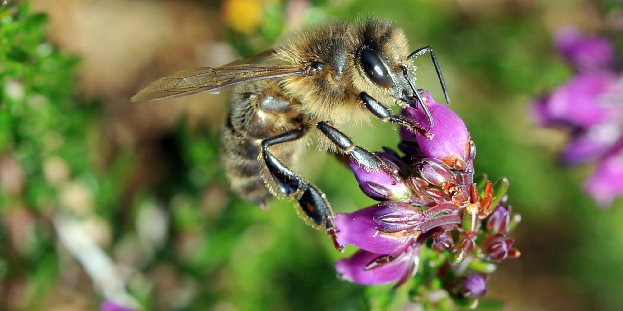 les abeilles victimes des pesticides  ce n u0026 39 est pas aussi