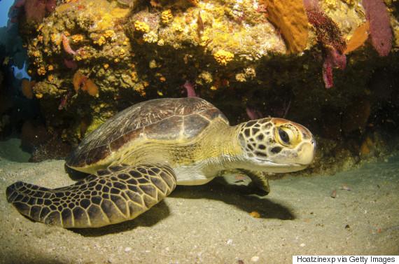 hawaiian turtles