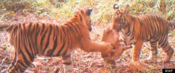 ENDANGERED TIGERS VIDEO