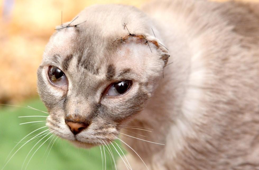 Adopt White Small Cat