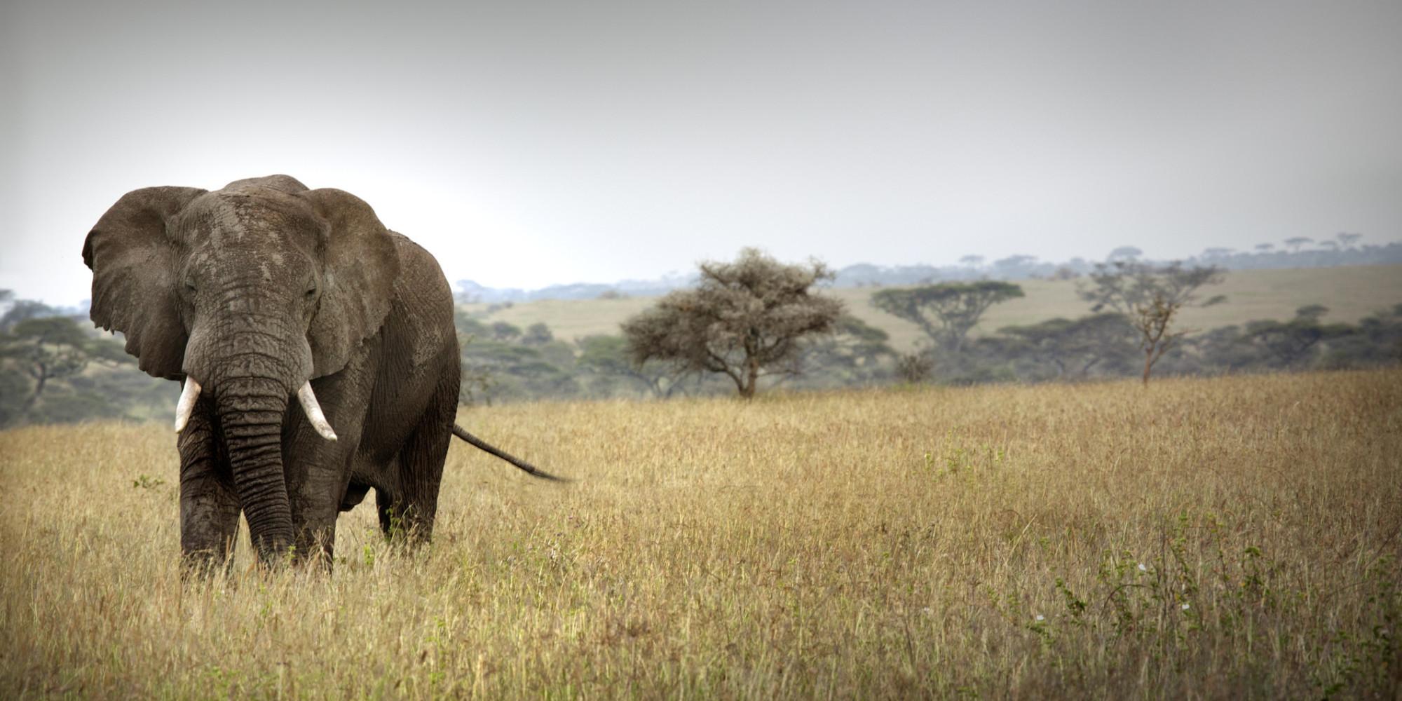 L'éléphant d'Afrique menacé à court terme par le trafic d ...