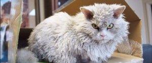 POMPOUS ALBERT CAT