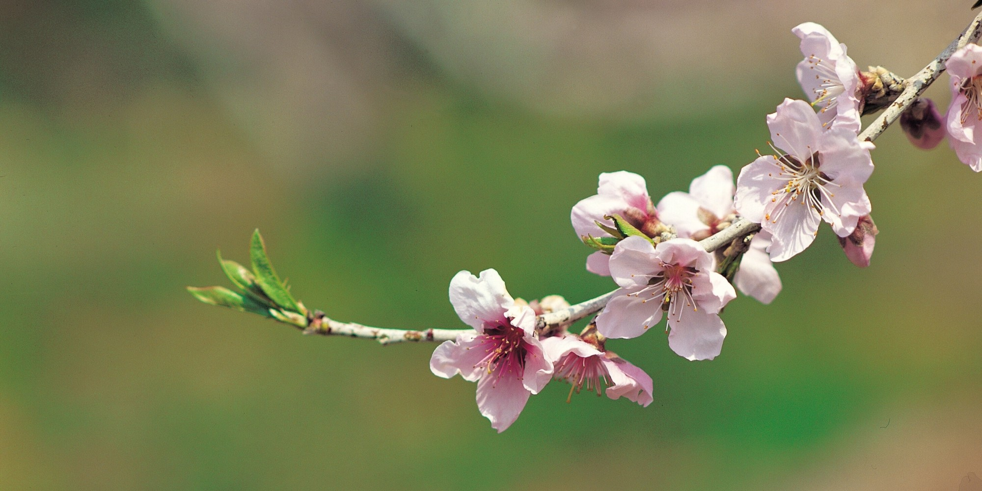 Asian teens cherry blossom virgins 6