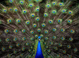 Escaped Peahen Returned to Bronx Zoo