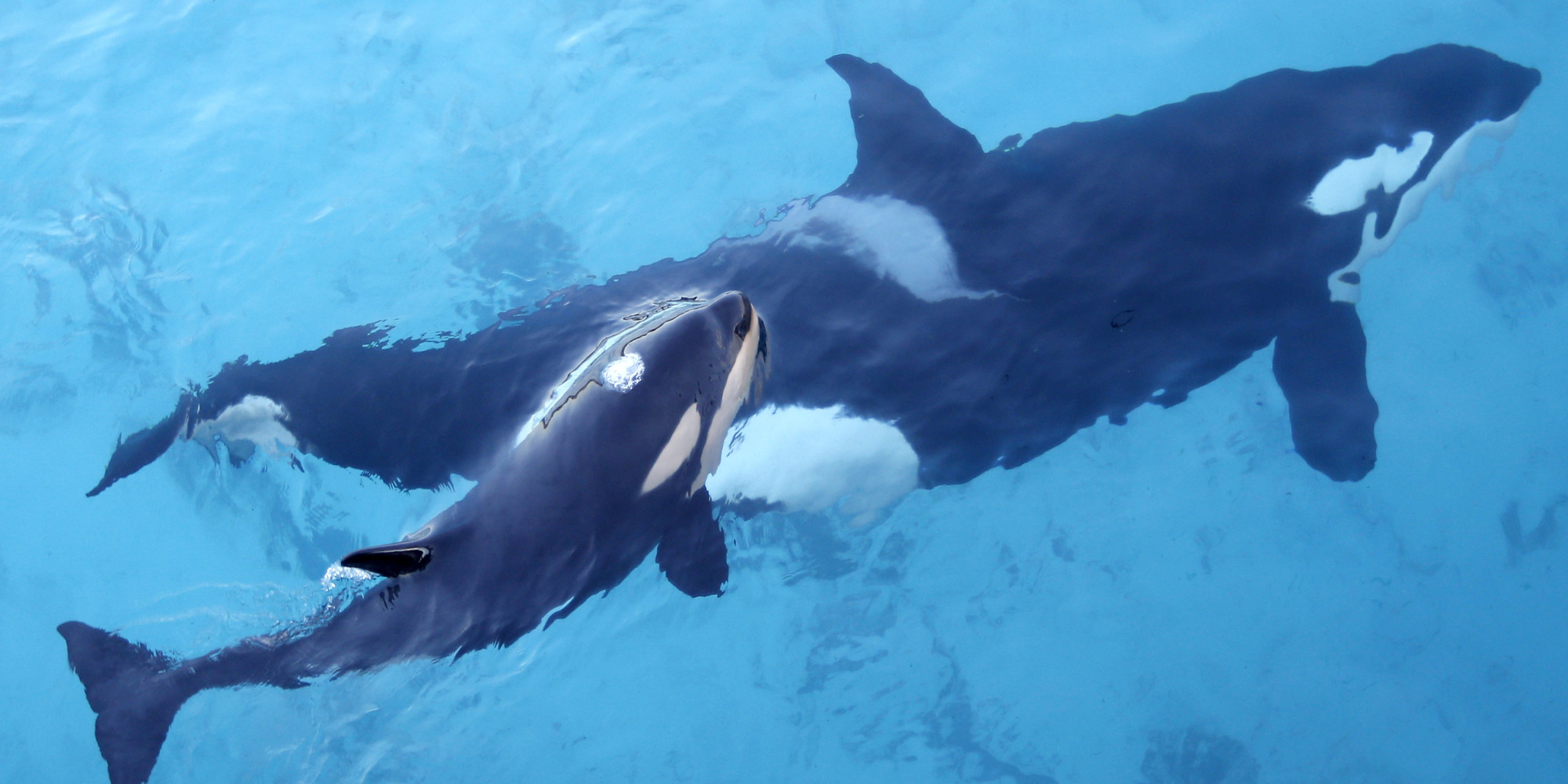 Yes Seaworld Does Take Orca Calves From Their Moms Here S Proof Huffpost
