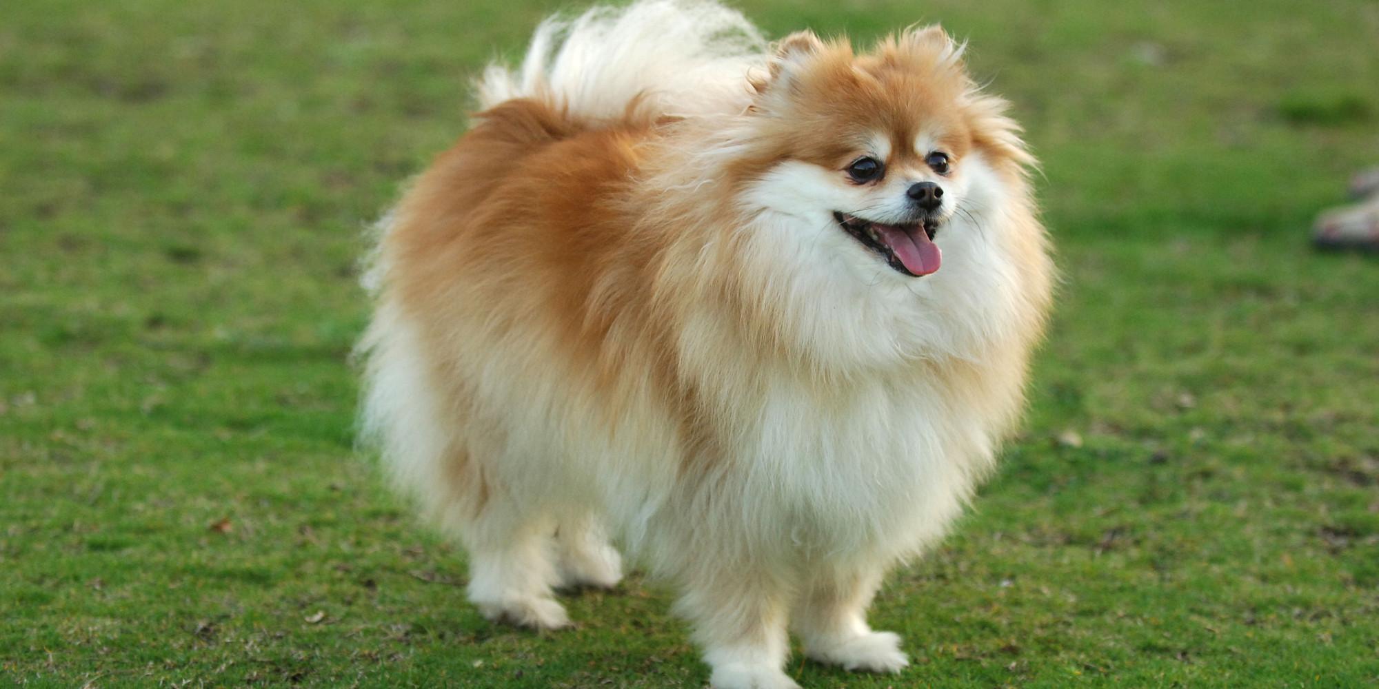 O Pomeranianach Pomeranian Stabbed 61 Times