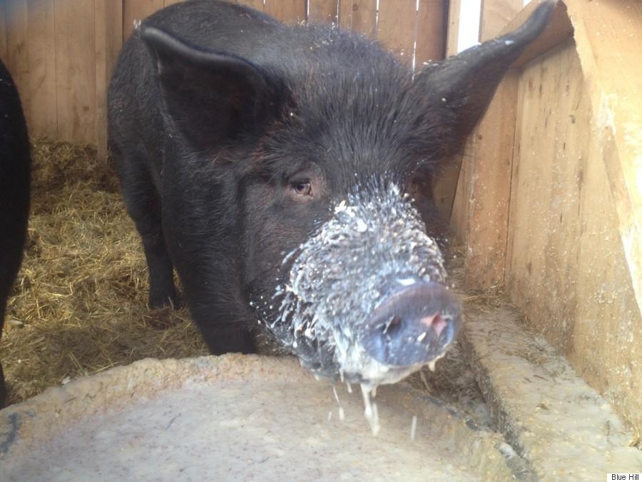 buttermilk fed pig