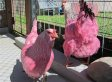 What's Up With These Pink Chickens Running Around Portland?