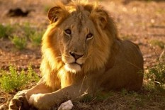 Stock image of a lion | Pic: Getty