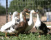 Cruelty Charges Long Overdue for Foie Gras Farmers