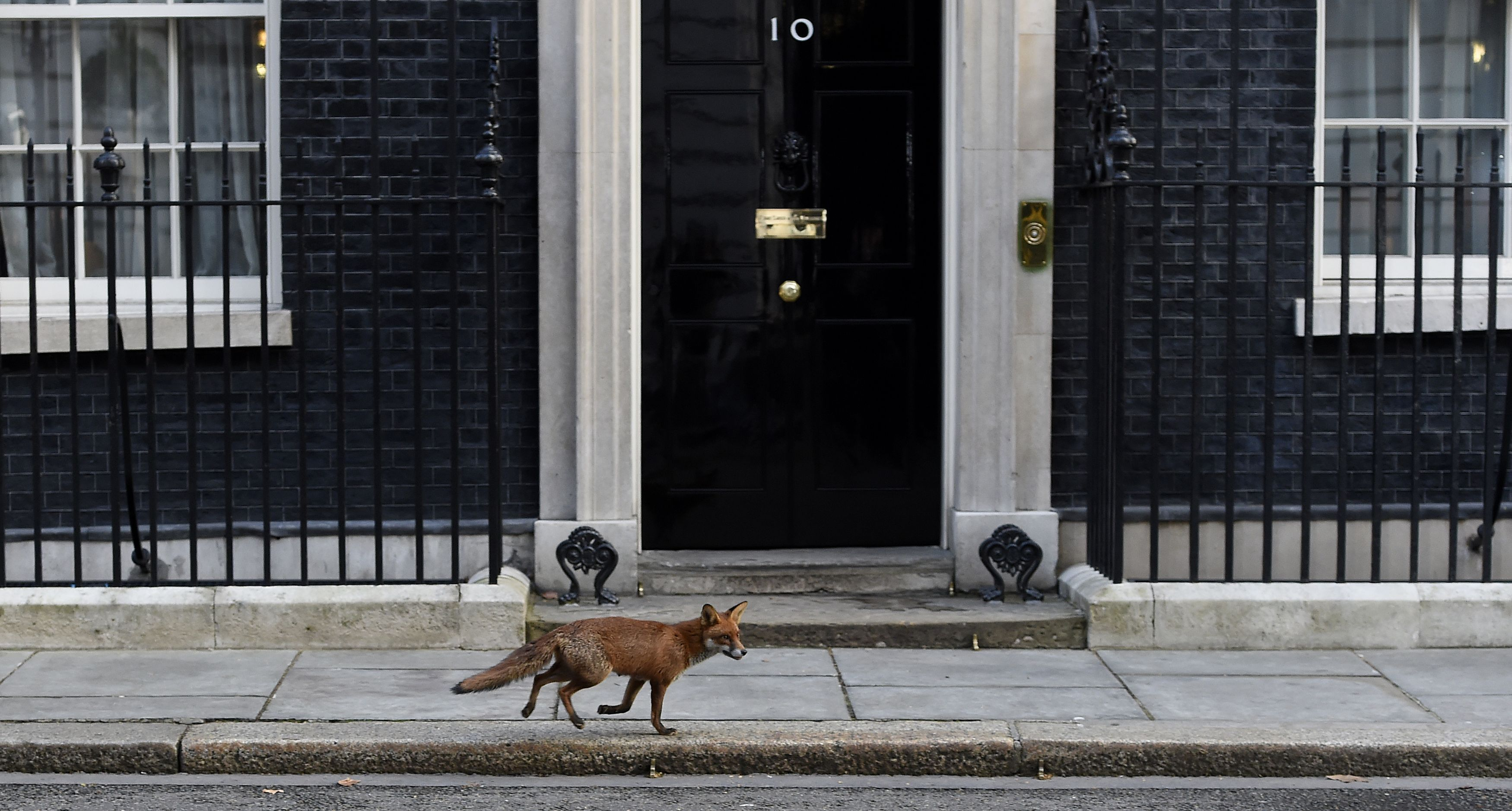 a fox just chased a duck up downing street. Black Bedroom Furniture Sets. Home Design Ideas