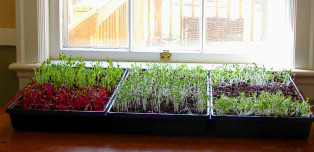 Why You Should Just Grow Your Own Damn Microgreens