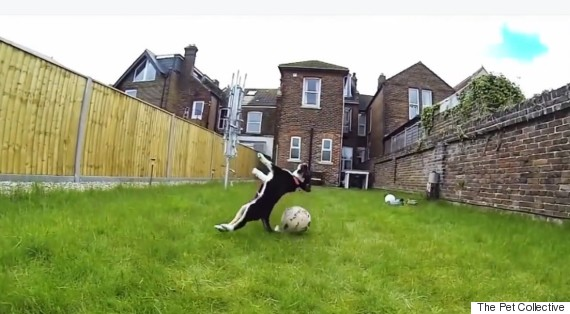 dogs falling over
