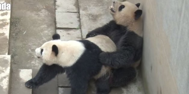 Chinas Sexiest Panda Obliterates Own Record In Latest Sex