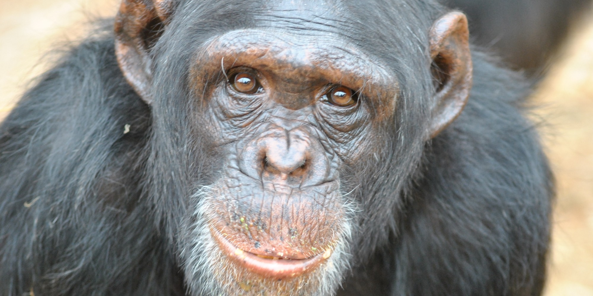 Chimpanzee pictures chimpanzees are all black but - Did A Court Just Recognize Chimpanzees As Legal Persons It Depends Who You Ask Huffpost