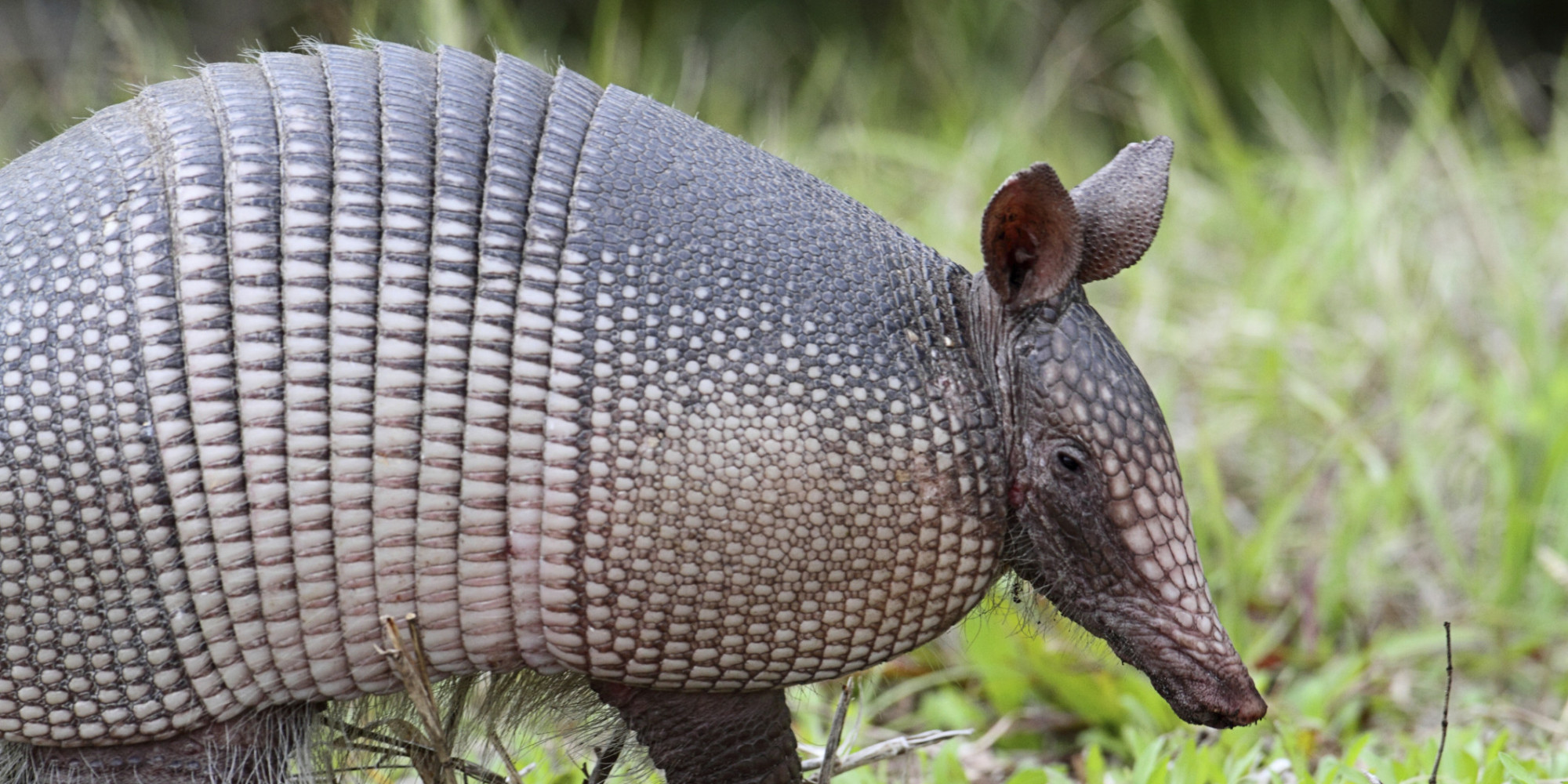 Man Shoots Armadillo, Bullet Hits Mother-In-Law