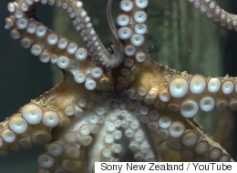 Meet Rambo, The Octopus Who Takes Pictures Of Her Aquarium Visitors