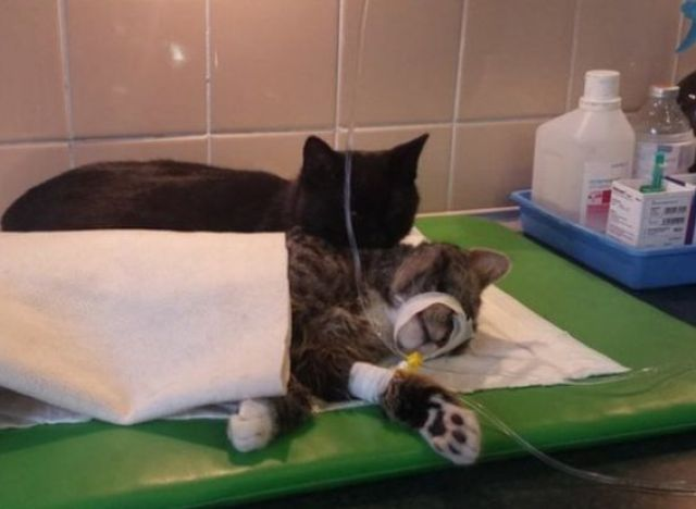 nurse cat 1