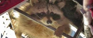 ROB MAC RACCOON