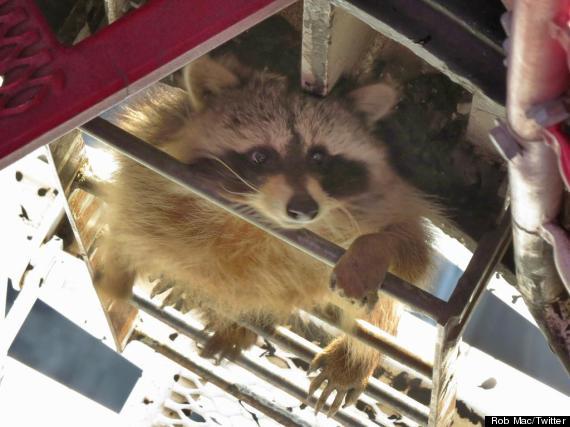 rob mac raccoon