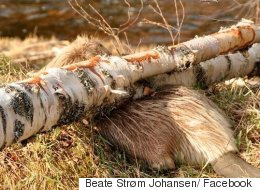 Beaver Killed By Tree It Was Gnawing Through
