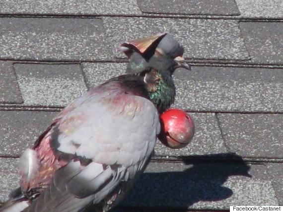 penticton pigeon