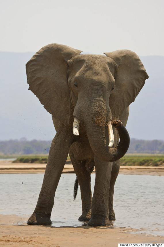 bull elephant zimbabwe