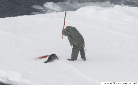 Graphic Video Of Annual Canadian Seal Hunt Released By Animal Rights